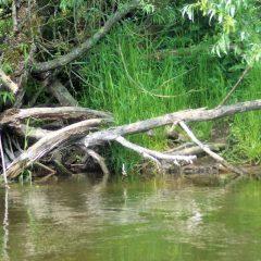 Wąskie zejście do rzeki i malownicze konary przy brzegu rzeki Wkry