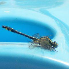 Ważka nie potrafi złożyć skrzydeł nawet gdy przysiądzie na kajaku